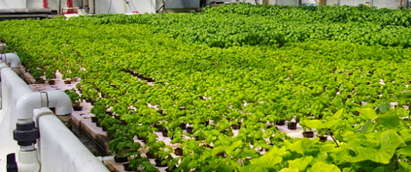 Aquaponics combines plant and fish growing without the need of soil.  Recycling 90% of the water through the plant bed and back to the fish.